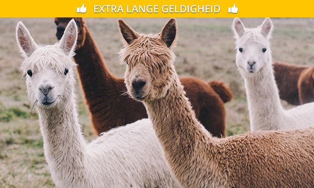 Meet & greet met alpaca's (45 min)