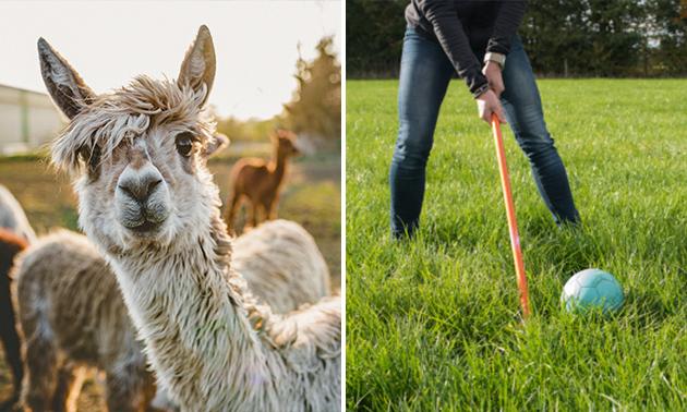 Alpaca-golf (1,5 - 2 uur) bij Beleefboerderij Heierhof